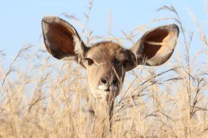 Bild på rådjur med stora öron